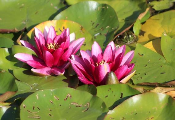 two-water-lilies-1483557-1280--1-